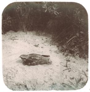 Nachtzwaluw ca1920 -foto Adolphe Burdet; collectie PWN