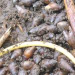 Muizenoren - Mollusken in het Mokslootgebied