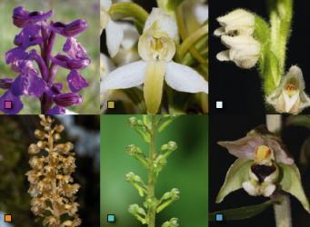 Orchideeën van Kennemerland