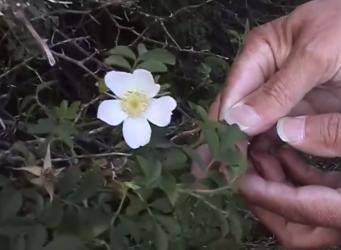 Wilde rozen op Schiermonnikoog