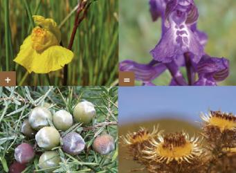 Komen en gaan van bedreigde planten in duin en kwelder