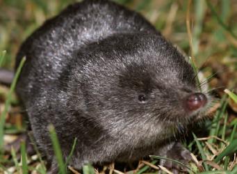 Noordse woelmuis en waterspitsmuis: Texelaars bedreigd