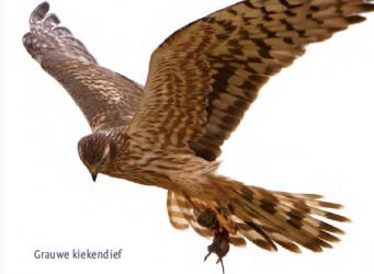Roofvogels en uilen in het Texelse bos- en duingebied