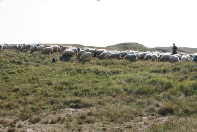 Seizoenbegrazing met schapen voor het wegwerken van het hoge gras