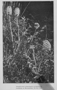scan tepe hondskruid 23 juli 1906 bloemendaal