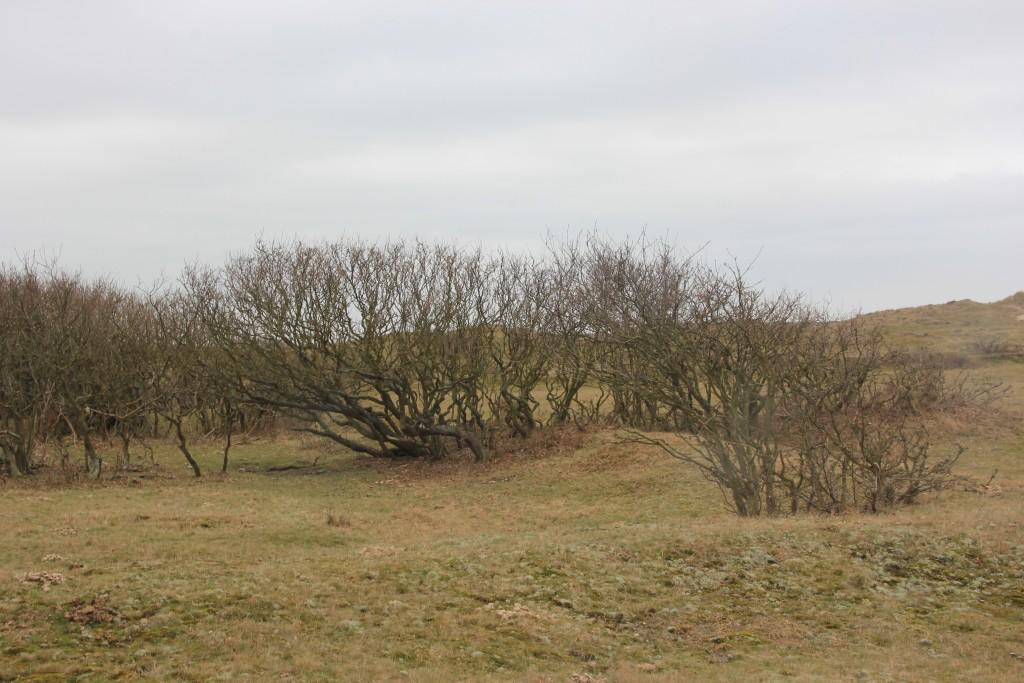 Jonge eikenaanwas in Solleveld door vegetatieve afleggers