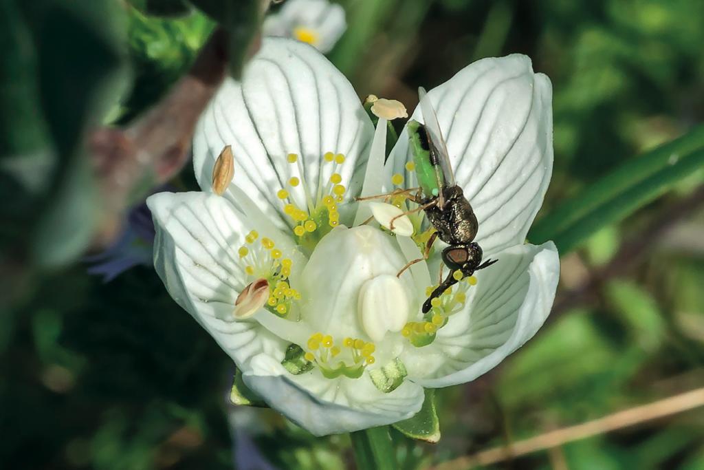 kleine-moeraswapenvlieg-Oplodontha-viridula-op-een-parnassiabloem-van-3-dagen-oud-foto-Dirk-Motshagen