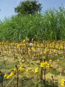 Groot blaasjeskruid in de Haagse Beek, een indicator van voedselrijk water