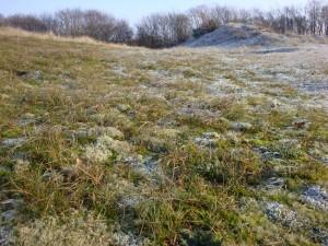 Grijsduin-vegetatie op de hooggelegen jonge duinen