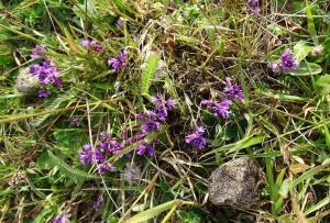 28 mei 2015 damlanderpolder, bergen vleugeltjesbloem foto rolf roos DSC00131