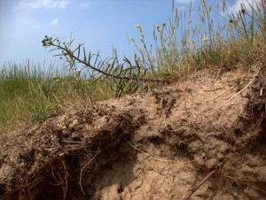 Bodemprofiel zeedorpenlandschap Vuurbaakduin Wijk aan Zee met oorsilene schermhavikskruid slakkenhuisjes 6-7-2013 foto Rienk Slings