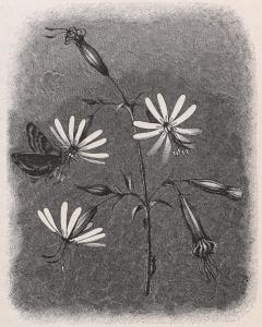 Nachtsilene met nachtvlinder, het uiltje Dianthoecia albimacula. Bron: Artis Bibliotheek