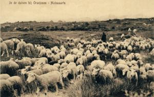 Schaapskudde in de duinen bij Oranjezon op Walcheren ca 1905 Collectie F. Beekman