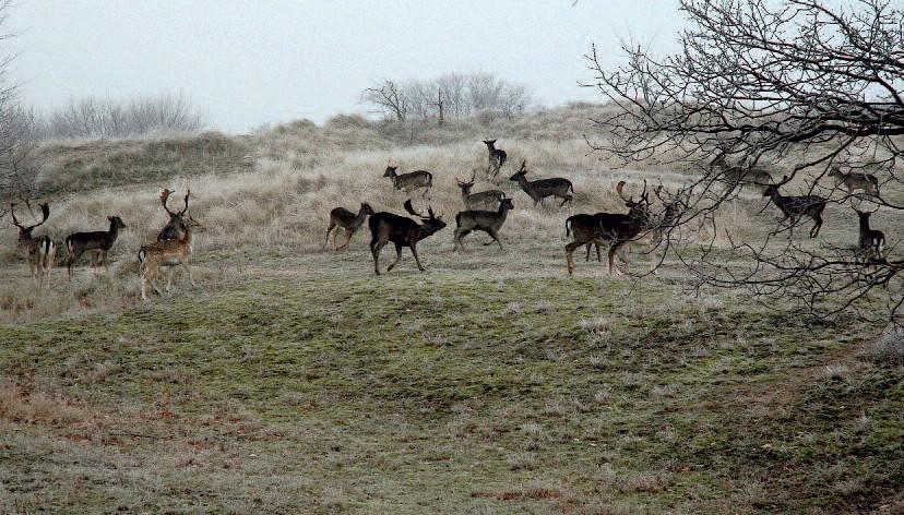 Damherten bij Vogelenzang. Foto Chris van Daalen