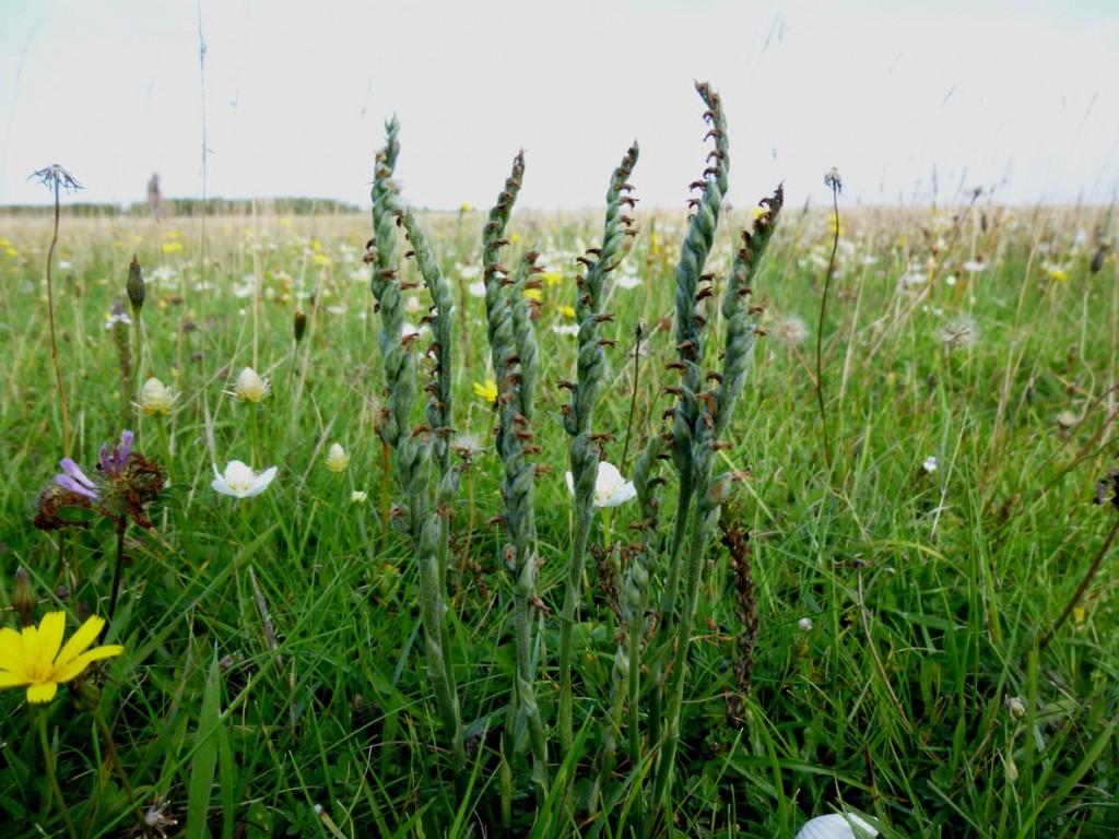 1. Hompelvoet - Herfstschroeforchis, 8 bloeiaren, hoeveel planten