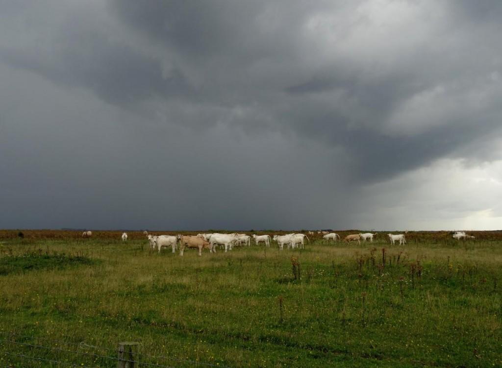 Hompelvoet: runderen bij opkomende bui; foto Kees de Kraker