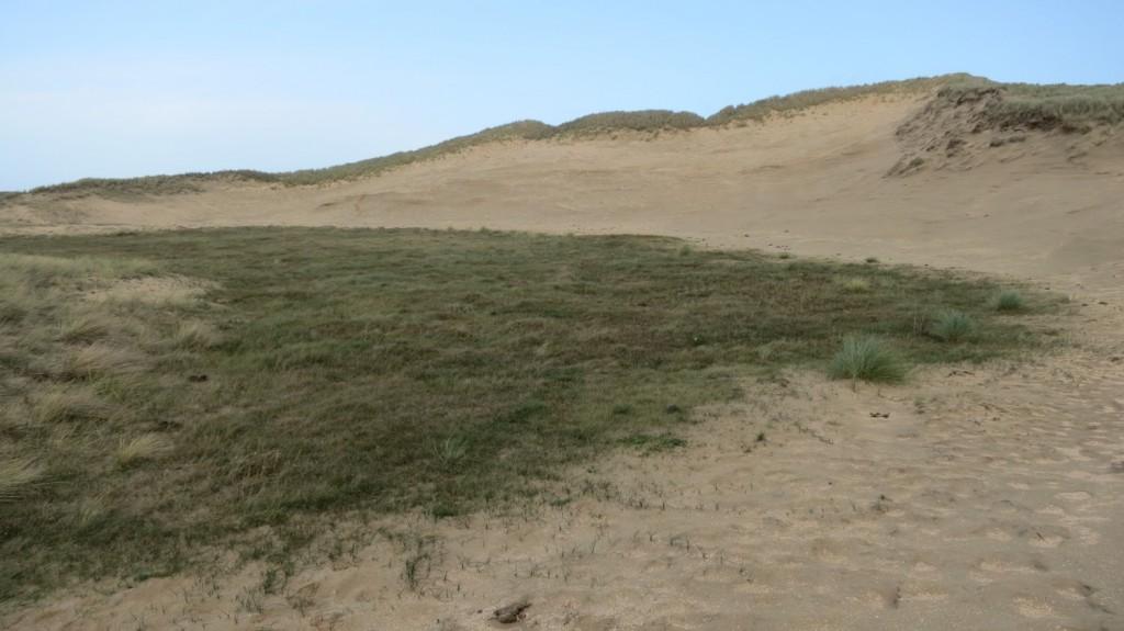 De met runderen begraasde pioniervallei van een paraboolduin, het Hiddesduin in de Duvelshoek bij Heemskerk. De vallei is nog piepjong en begonnen als kaal nat zand. Foto Rienk Slings