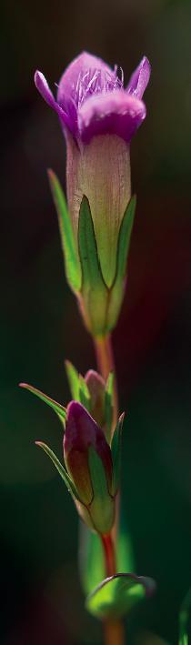 Slanke gentiaan, met karakteristieke franje aan de kroonbladeren. Foto Gerard Oostermeijer