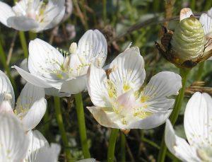 parnassia-uitsnee-schier
