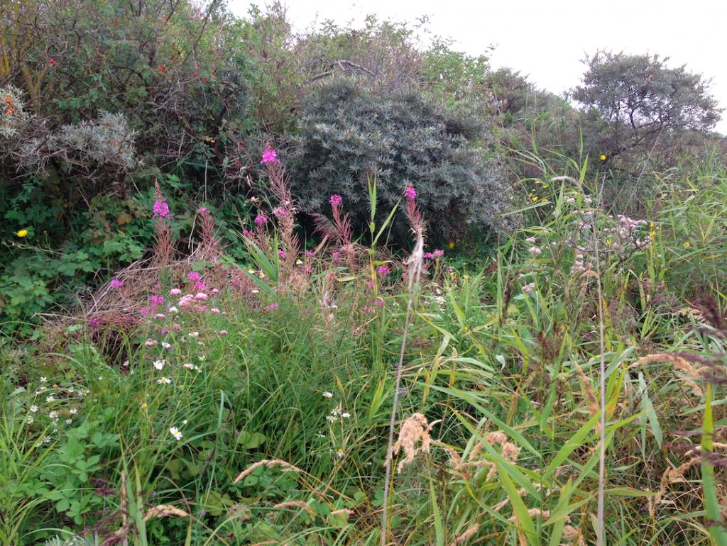 Foto 5. September 2014. Door een tot 20 centimeterdik vloedmerk hier een uitbundige vegetatie.